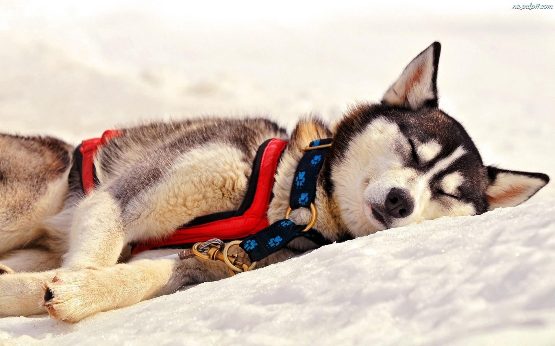 Odpoczynek, Husky, Śnieg Na Pulpit